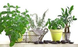 Aromatyczny ziele ogród odizolowywający na bielu zdjęcia royalty free