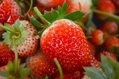 Aromes de fraise de la ferme Photos libres de droits