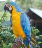 aron papuga Obrazy Royalty Free