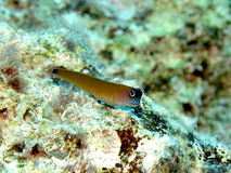 Aron's blenny. Stock Images