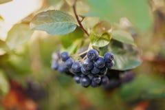 Aronia生长在庭院里的莓果堂梨属灌木 免版税库存照片