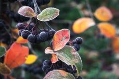Aronia莓果在10月 堂梨属灌木 免版税图库摄影