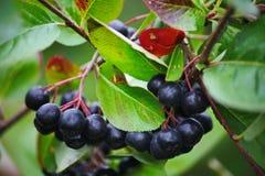 黑aronia莓果柑橘生长刷子和暗藏的绿色叶子在灌木的分支 库存图片