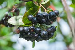 Aronia莓果Aronia melanocarpa,生长在庭院里的黑堂梨属灌木 免版税库存照片