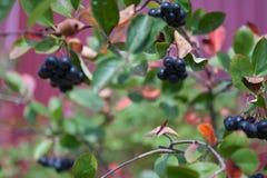 Aronia莓果Aronia melanocarpa,生长在庭院里的黑堂梨属灌木 免版税图库摄影