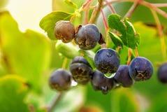 Aronia ή μαύρος chokeberry Στοκ Φωτογραφία