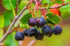 Aronia ή μαύρος chokeberry Στοκ φωτογραφίες με δικαίωμα ελεύθερης χρήσης
