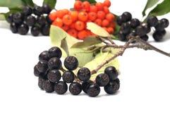 Aronia και ashberry. Στοκ φωτογραφία με δικαίωμα ελεύθερης χρήσης