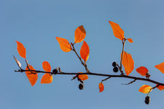 Aronia κλάδων φθινοπώρου με τα μούρα Στοκ φωτογραφία με δικαίωμα ελεύθερης χρήσης