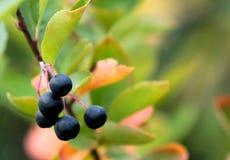 Aronia Μαύρα φρούτα Chokeberries η κινηματογράφηση σε πρώτο πλάνο ανασκόπησης φθινοπώρου χρωματίζει το φύλλο κισσών πορτοκαλί Στοκ εικόνα με δικαίωμα ελεύθερης χρήσης