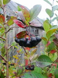 Aronia на конце дерева вверх Стоковое Изображение RF