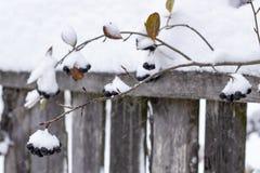 Aronia покрыто с первым с пушистым снегом в сельских районах на предпосылке старой деревянной загородки стоковые изображения