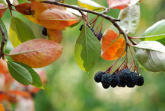 Aronia Stock Images
