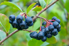 Aronia Fotos de Stock Royalty Free