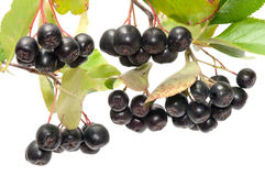Aronia. Stock Photos
