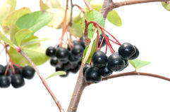 Aronia. Royalty Free Stock Photography