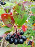Aronia Aronia-μαύρα chokeberry φρούτα στον κλάδο Chokeberries Στοκ Φωτογραφίες