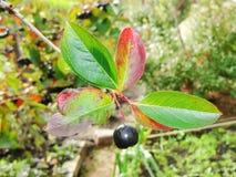 Aronia Aronia-μαύρα chokeberry φρούτα στον κλάδο Chokeberries Στοκ Φωτογραφία