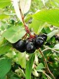 Aronia Aronia-μαύρα chokeberry φρούτα στον κλάδο Chokeberries Στοκ φωτογραφία με δικαίωμα ελεύθερης χρήσης