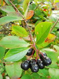 Aronia. Aronia-black chokeberry fruits on the branch. Chokeberries. Royalty Free Stock Photo