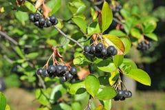 aronia ashberry黑色melanocarpa 库存照片