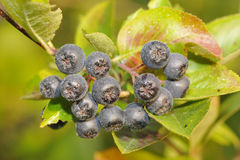 Aronia berries Stock Image