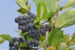 Aronia berries Royalty Free Stock Images