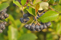 Aronia berries Royalty Free Stock Photo