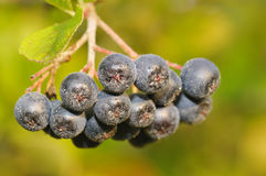 Aronia berries. On a bush. Aronia is a genus of deciduous shrubs, the chokeberries Royalty Free Stock Photos