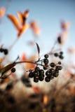 Aronia berries Royalty Free Stock Photos