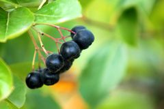 Aronia. Black chokeberry berries. Autumn fruits in the garden. Royalty Free Stock Images