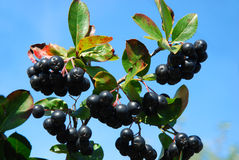 Aronia-black chokeberry Stock Photo