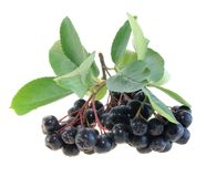 Aronia  Black Chokeberry Royalty Free Stock Photo