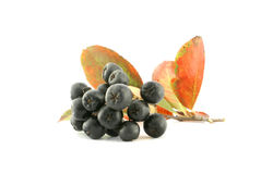 Aronia - Black Chokeberry. Royalty Free Stock Images