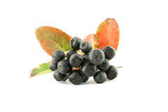 Aronia - Black Chokeberry. Royalty Free Stock Photo
