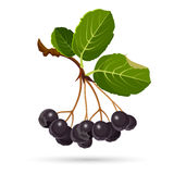 Aronia chokeberries  on white. Branch of berries with leaves Royalty Free Stock Photo