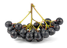 Aronia (chokeberry) Στοκ εικόνα με δικαίωμα ελεύθερης χρήσης