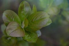 Aronia - Chokeberry noir avec de belles feuilles colorées images stock