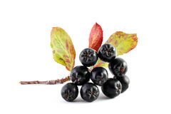Aronia. Chokeberry. Chokeberry on a white background stock photography