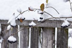 Aronia is covered with a first with fluffy snow in rural areas on a background of the old wood fence. Close-up stock images
