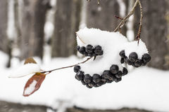Aronia is covered with a first with fluffy snow in rural areas o Royalty Free Stock Photo