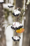 Aronia is covered with a first with fluffy snow in rural areas o Stock Images