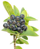 Aronia cutout royalty free stock images