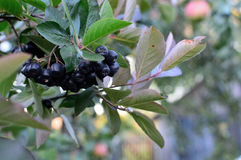 Aronia di Chokeberry Immagine Stock