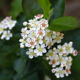 Aronia flower Royalty Free Stock Image