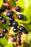 Aronia-Früchte Lizenzfreies Stockfoto