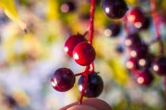 Aronia fruits Royalty Free Stock Image