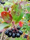 Aronia frutti Aronia-neri di chokeberry sul ramo Chokeberries Fotografie Stock
