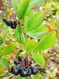 Aronia frutti Aronia-neri di chokeberry sul ramo Chokeberries Immagini Stock Libere da Diritti
