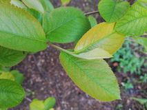 Aronia leaves stock images